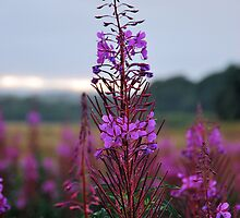 Rose Bay Willow Herb by Lindamell
