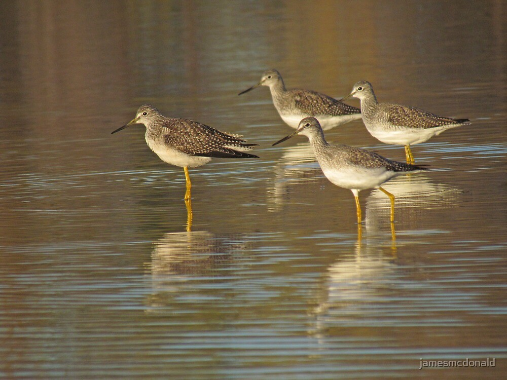 greater yellow legs's by jamesmcdonald