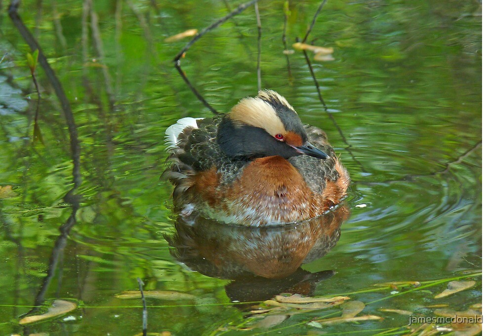 horned grebe by jamesmcdonald