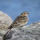 lapland longspur by jamesmcdonald