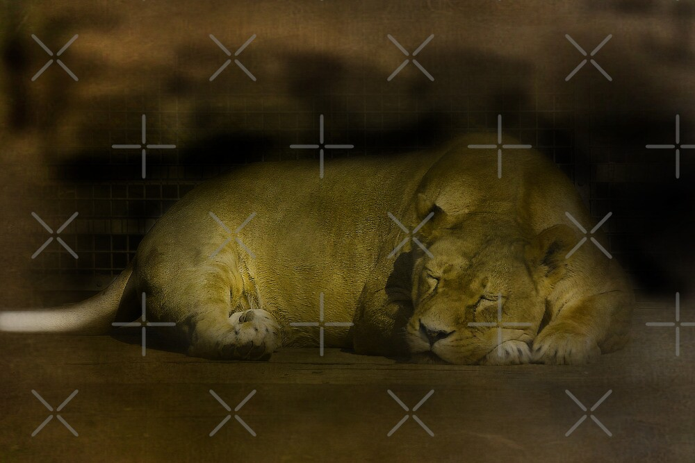 Lioness by Catherine Hamilton-Veal  ©