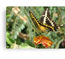 Butterfly ~ Giant Swallowtail Canvas Print
