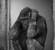 Hear no evil - Gorilla covering ears by jegi52001