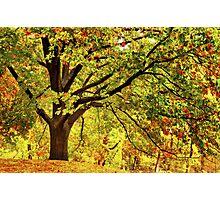 Golden Oak Tree  Photographic Print
