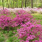 Fields of Azaleas by Carol  DiFiori