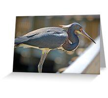 Beautiful Tri-Color Heron Greeting Card