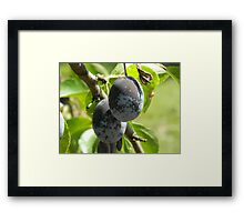 Two plums Framed Print