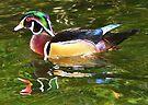 Wood Duck ~ Male by Kimberly Chadwick