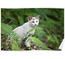 Singapura Tom Cat Poster