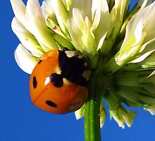 A ladybug named Clover by Angie O'Connor