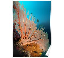 Gorgonian Fan Coral, Papua New Guinea Poster
