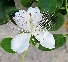 White flower of capers growing on a wall by alicara