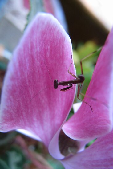 an insect dancing on a cyclamen petal by chrisjf56