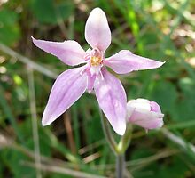 Pink Fairy Orchid by Catherine McIver