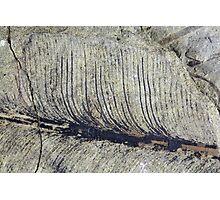 Fragile Fossil Plant Leaf Photographic Print