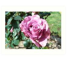 the beauty of a rose... Art Print