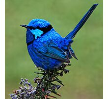 Splendid Wren  Photographic Print