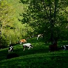 Cows grazing by Dulcina