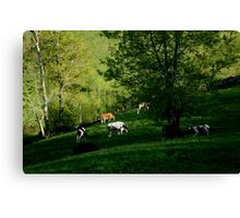 Cows grazing Canvas Print