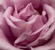 Pink Rose by Anna Calvert
