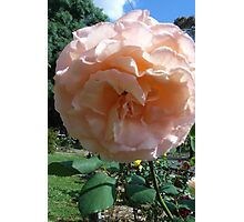 the beauty of a rose... Photographic Print