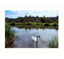 River swan Art Print