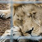 Sleepy Lion - Zoo Arcachon by Melanie PATRICK