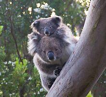 Koala's - Cape Otway, Victoria by Ben |  Greg