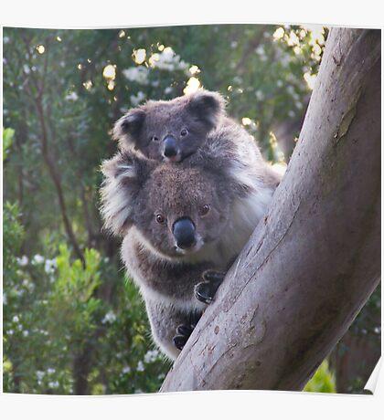 Koala's - Cape Otway, Victoria Poster