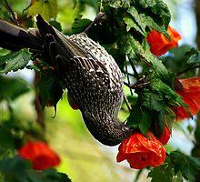 butcher bird in chinese lantern bush by hurky