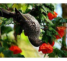 butcher bird in chinese lantern bush Photographic Print