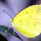 Eurema hecabe by Andrew S