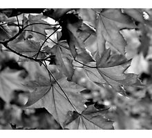 Monochrome Leaves Photographic Print