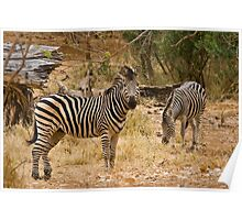 A pair of Zebra Poster
