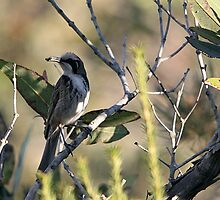 Tawny-crowned Honeyeater by EnviroKey