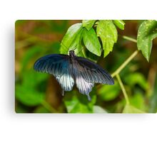 Low's Swallowtail Butterfly Canvas Print
