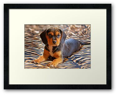Gracie - A Beagle Cross King Charles Spaniel by Mark Richards