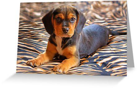 Gracie - A Beagle Cross King Charles Spaniel by Mark Richards