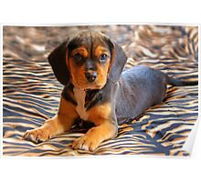 Gracie - A Beagle Cross King Charles Spaniel Poster