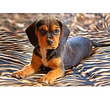 Gracie - A Beagle Cross King Charles Spaniel Photographic Print
