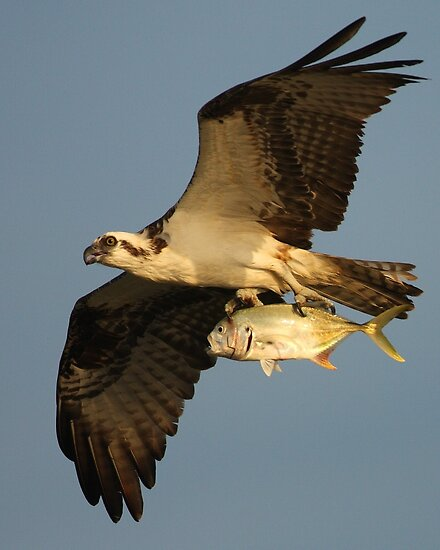Osprey Fishing by William C. Gladish