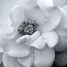 Tawny's rose in B&W by Ann Reece