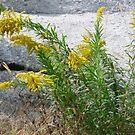 Goldenrod against granite by nealbarnett