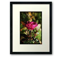 Young Fancy Rose Framed Print