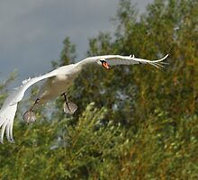 Swan in Flight - Coming into Land by Simon Lexton