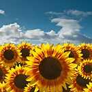 Sunflower Field by InfotronTof