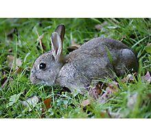 Young Wild Rabbit Photographic Print