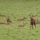 Red Deer in Ashton Court by MendipBlue