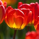 Orange and Red Tulips by ArianaMurphy