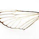 Cicada Wing by Steve Lovegrove